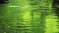 8月 緑一色の川面 45139825