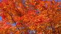 鮮やかな紅葉(フィクス撮影) 45192691