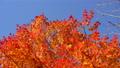 鮮やかな紅葉(ティルトダウン) 45192694