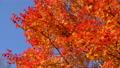 鮮やかな紅葉(パン撮影) 45192695