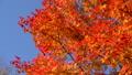 鮮やかな紅葉(パン撮影) 45192696
