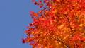 鮮やかな紅葉(フィクス撮影) 45192697