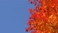 鮮やかな紅葉(パン撮影) 45192699