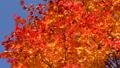 鮮やかな紅葉(パン撮影) 45192700