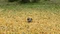 黄色に色づいたポプラの木の落ち葉の上を駆ける小さなリス 45226598