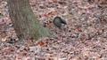 落ち葉の上を駆け抜けて逃げる野性のリスをハイスピードで撮影 45226600