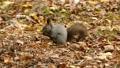 餌の中から見つけたクルミの実を頬張る野生のリスを望遠で撮影._4 45226603