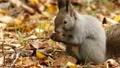 餌の中から見つけた木の実を頬張る野生のリスを望遠で撮影._3 45226604
