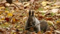 餌の中から見つけたクルミの実を頬張る野生のリスを望遠で撮影._2 45226605