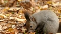 餌の中から見つけたクルミの実を頬張る野生のリスを望遠で撮影._1 45226606