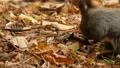 落ち葉の中で食べ物を探す野生の空腹のリス 45226607