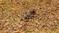 落ち葉の中の餌を見つけて一目散に立ち去る空腹のリス 45226609