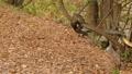 落ち葉で埋もれた森の木で遊ぶリス._3 45226610