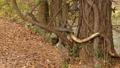 落ち葉で埋もれた森の木で遊ぶリス._2 45226611