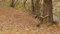 落ち葉で埋もれた森の木で遊ぶリス._1 45226612