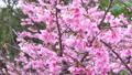 寒緋桜 45228274