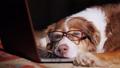 dog, pet, glasses 45275745