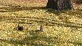 三棵松鼠出現在柔軟的白楊樹上.1 45296263
