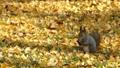 從白楊樹柔軟的落葉葉子尋找食物的松鼠。 45296269