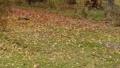 跑在下落的葉子的松鼠美妙地被洗染紅色和黃色 45296276