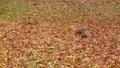 跳躍在下落的葉子的灰鼠美妙地被洗染紅色和黃色 45296279