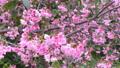 寒緋桜 45339574