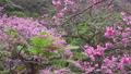 寒緋桜 45339578