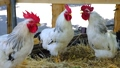 White roosters crowing on a carriage with straw 45374393