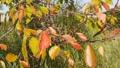 風に揺れる紅葉し始めた桜の葉 45431915