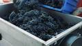 grapes, press, machine 45464343