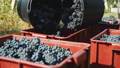 grape, fruit, plant 45464349