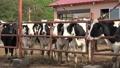 乳牛 45479886