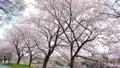 桜並木 45509587