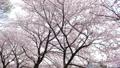 桜並木 ティルトアップ 45509590