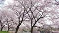 桜並木 ティルトダウン 45509592