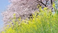 桜と菜の花 45510047