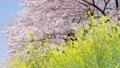 桜と菜の花 左にスライド 45510050