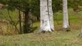 跑在樺樹附近的兩隻灰鼠高速射擊 45586299