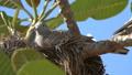 Motley pigeon in nest on tree 45625769