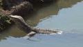 Varan swimming in a river, Thailand 45625773