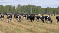 Dairy cows grazing on the field and eating grass 45645012