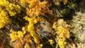 Grand Canyon Upstream Colorado River Autumn Yellow Leaves Utah 45675002