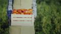 农民 农夫 西红柿 45703396