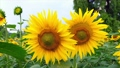 Sunflower field close up in a summer village in Mo 45704627