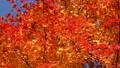 鮮やかな紅葉(パン撮影) 45710400