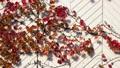 蔦の紅葉 45771429