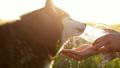 わんこ 犬 シベリアン・ハスキーの動画 45815775