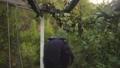 採集 摘む ブドウ畑の動画 45852018