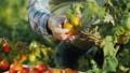 トマト 農業 収穫の動画 45910739