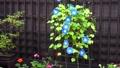 나팔꽃, 꽃, 플라워 45923007